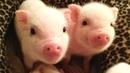 Смешные свиньи и поросята – Приколы до слез с символом наступающего года 2019