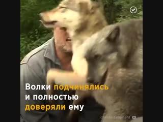 Вожак волчьей стаи