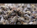 Гибель пчёл. Varroa Destructor.