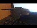 Стрижик чистит перья на клавиатуре ноутбука Удобненько