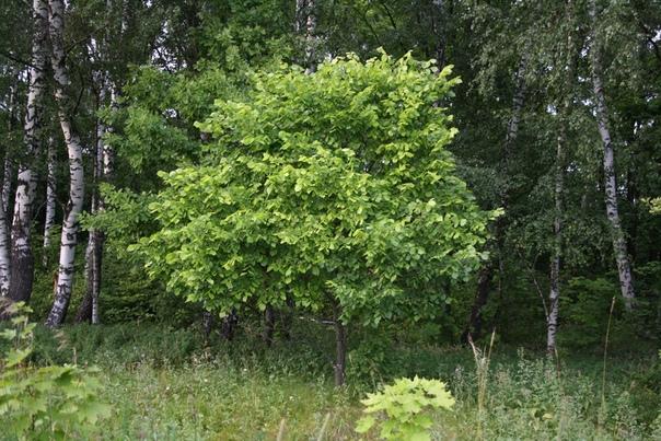 Очень красивое кустистое дерево. Сказочное такое.