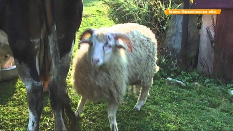 Овечьи покрывала из Прикарпатья согревают весь мир уже сотню лет