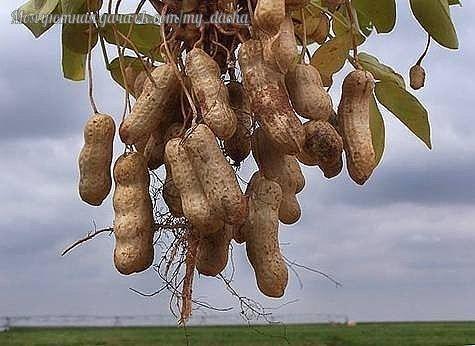 Как вырастить земляной орех - арахис Мне всегда (также как и другим дачникам) хотелось вырастить что-то такое на участке, что удивило бы моих соседей. Живу в Подмосковье и как-то прочитала