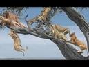 Con báo bất hạnh bị nguyên một đàn sư tử Gank trên cây có kết cục - Lion vs Leopard On Tree