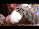Вислоухий шотландский кот Мишка и кошка Люська в гостях у бенгальской кошке, видео 2