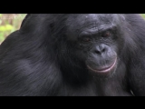 Bonobo builds a fire and toasts marshmallows - Monkey Planet Preview - BBC One