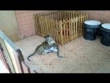 Тайские тигрятки)) милые лапочки!