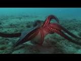 National Geographic. Вулкан осьминогов (Вулкан и осьминоги)  National Geographic. Octopus Volcano  2007