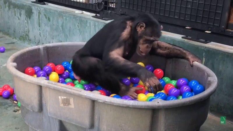 Chimpanzee Ball Pit Adventure