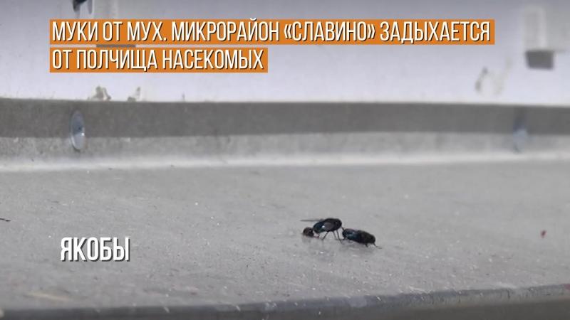 Муки от мух. Микрорайон Славино задыхается от полчища насекомых