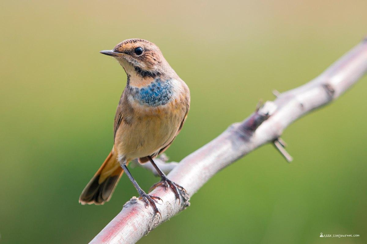 птицы Челябинска, варакушка