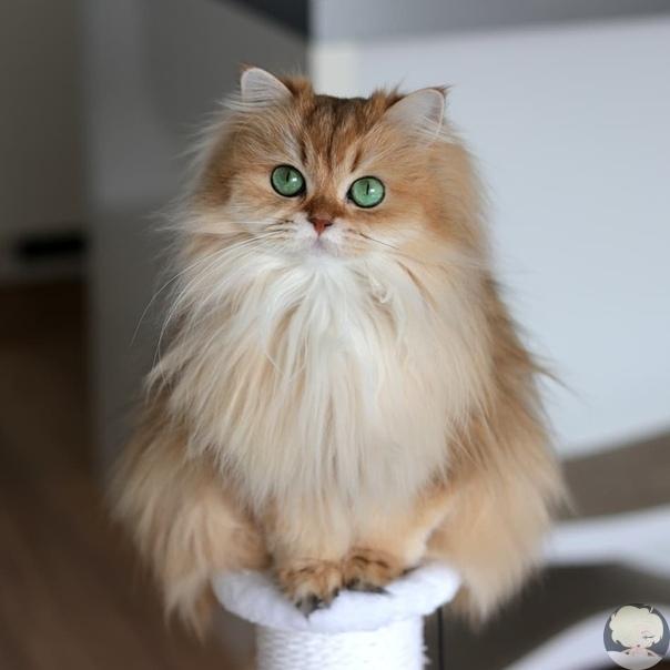 смузи - британская длинношёрстная или «самая фотогеничная кошка в мире». это пушистое зеленоглазое великолепие известнее многих знаменитостей, ведь её профиль в instagram на данный момент насчитывает уже более 1,6 млн.