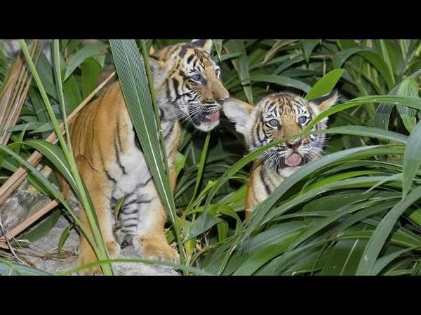 В тайском заповедники растёт популяция индокитайских тигров(новости)