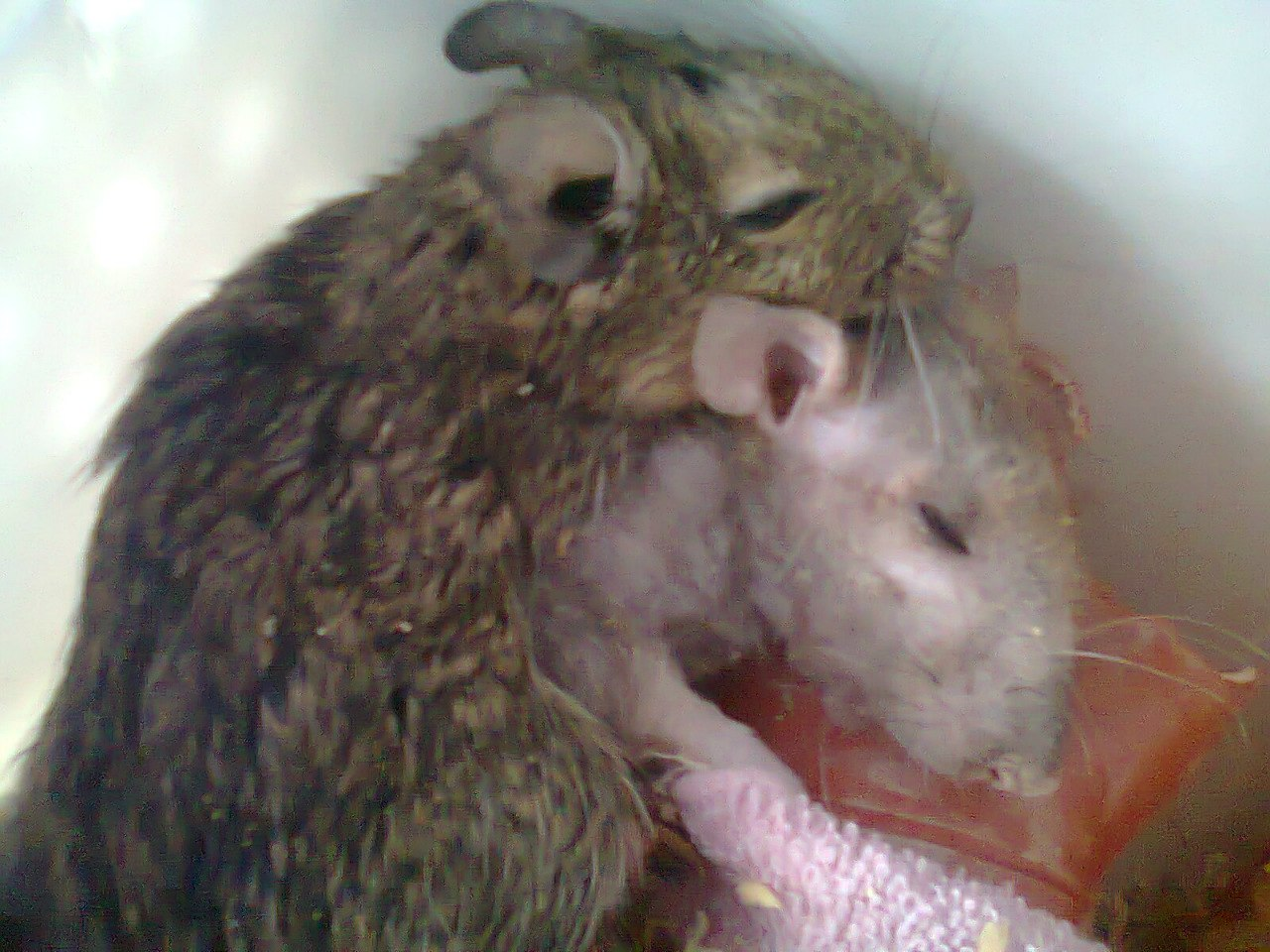 крыса и дегу сптя вместе