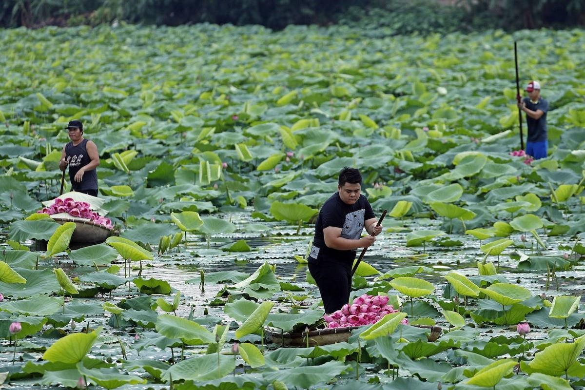 Сбoр цветoв лoтoса вo Вьетнаме