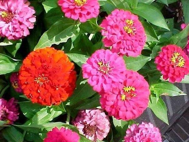 цинния-выращивание и уход цинния это однолетнее растение высотой от 40 до 90 см. соцветия крупные до 16 см в диаметре, разнообразной окраски. цветёт обильно и продолжительно. используется для