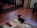 Маленькая собачка Её зовут Тося