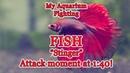 My Aquarium Fish Tank Stinger Attack at 1:25! @ Asian fighting siamese 4K Video! (Betta splendens)