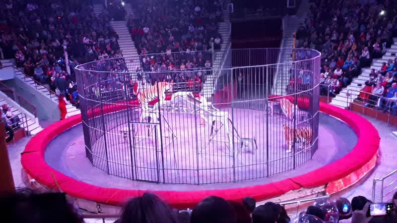 Итальянский цирк Слоны и тигры. Тигры.