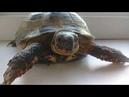 Черепаха Маша|Turtle|Сухопутная черепаха