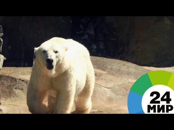 На Новой Земле придумали как спасти людей от нашествия белых медведей МИР 24
