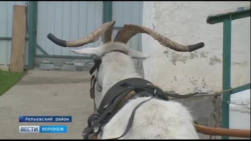 А в Воронежских селах бензин стал роскошью и жители передвигаются запрягая козла. Такого прорыва даже в советские времена не в