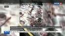 Новости на Россия 24 • Сотни живых угрей вывалились из грузовика на трассу в Орегоне. Видео