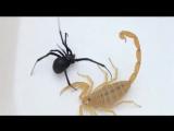 Смертельная битва желтый скорпион против черной вдовы
