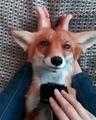 Foxy Lazy
