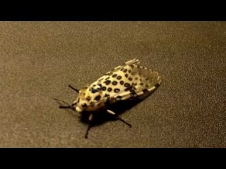 Giant Leopard Moth Hypercompe scribonia