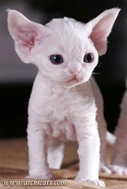 порода кошек сфинкс с шерстью фото