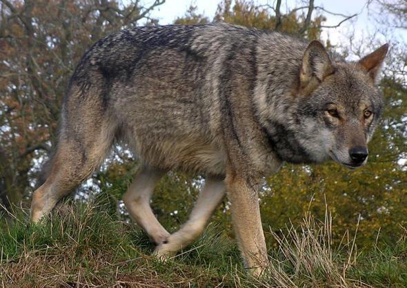 Родственник нашего лесного волка но