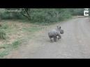 Носорожик смельчак против машины