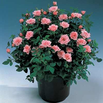 Комнатные растения розы фото