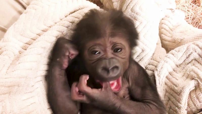 Zoo Celebrating Birth of Endangered Western Lowland Gorilla