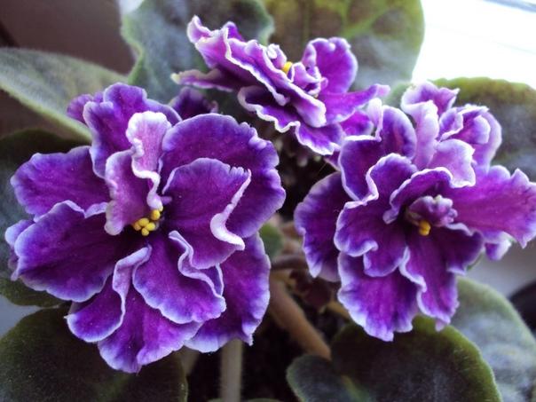 как заставить фиалку цвести . у многих женщин сенполия на окне не хочет цвести. это ненормальное поведение для растения, так как раз в год на фиалке должны появляться цветы. если ваш цветок