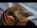 Milsom the Platypus