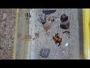 Годування мурах messor structor гарбузом . Таймлпас , time-lapse
