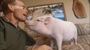 Nat Geo Талантливые животные Умные свиньи 1080р