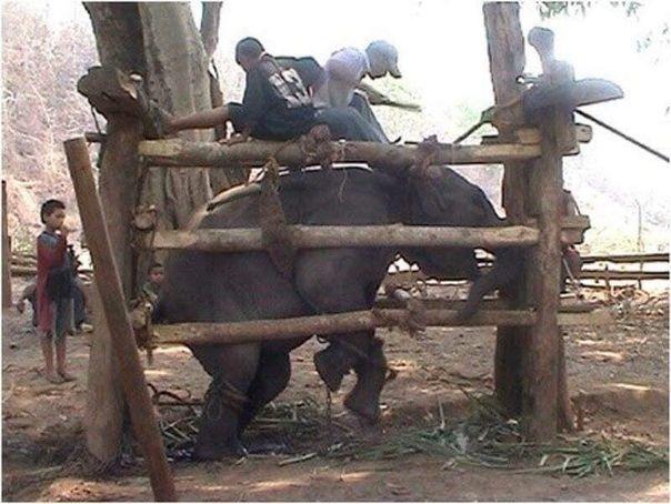 Вся прaвда об аттракционе «Катание на слонах»