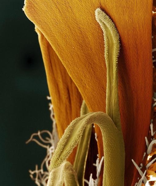 Скрытая красота цветов Фотограф Оливер Мекес (Oliver Meces Nicole ) и биолог Николь Оттаве ( Nicole Ottawa ) представили фото цветов, выполненные с помощью цветного сканирующего микроскопа