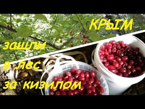 Крым, Судак, прогулка в лес. Урожай кизила