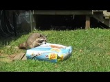 Sneaky Raccoon hauls off 28 pound bag of cat food