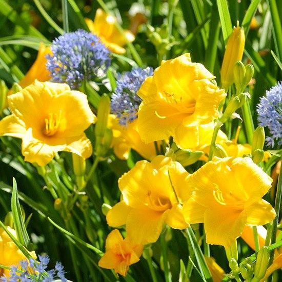 Многолетники для цветников - Лилейник