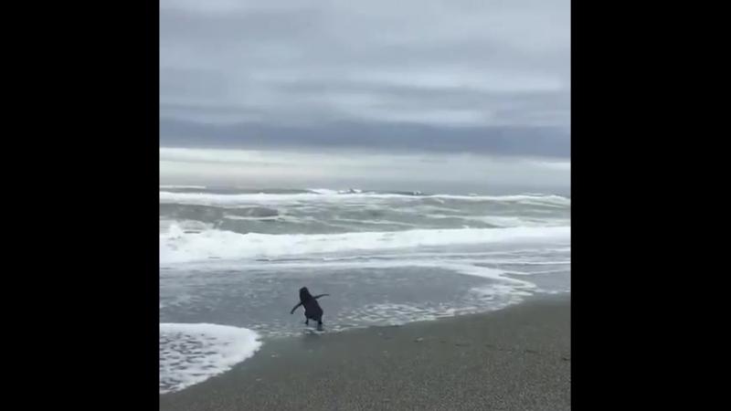 Крошечный пингвин, обратившийся к своему спасителю, в последний раз посмотрел на него ...