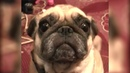 Pug Looks at Owner Lovely I 냥이멍이 I Dog Compilation