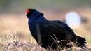 Orre Black Grouse 29 4 2012