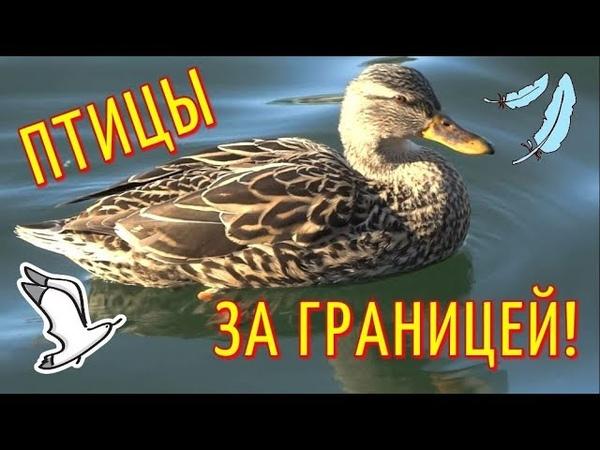 США 5: Утки на озере в АМЕРИКЕ / Природа США