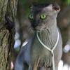 Chaton-левкой.вязка,котята,консультация