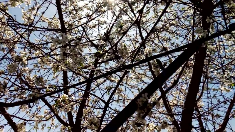Вишня в цвету, пчела в работе. Хороши майские праздники на даче в Воронеже.